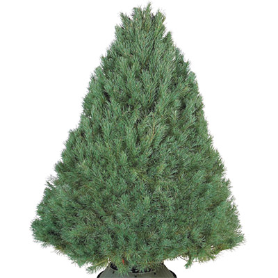 Shop All Types Of Real Christmas Trees - The Home Depot